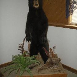 Standing Black Bear Cub Taxidermy