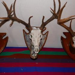 Deer European Mounts